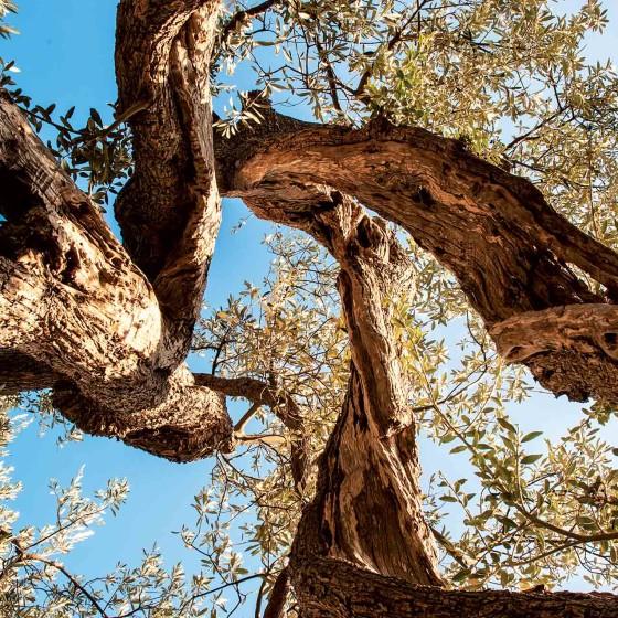 Antico olivo
