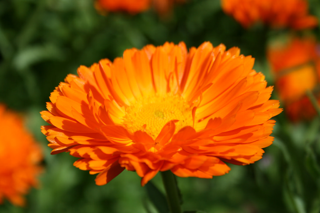 Calendula officinalis (coltivata)