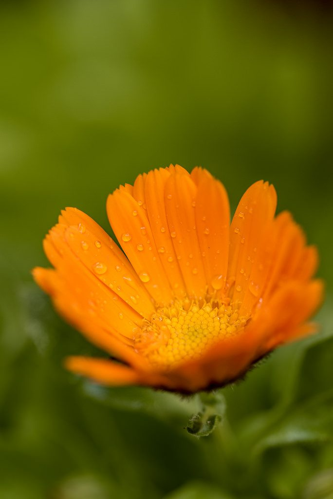 Calendula [photo credit: Flor Calendula via photopin (license)]