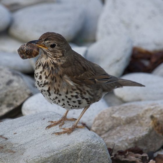 Tordo bottaccio (Turdus philomelos)[photo credit: www.flickr.com/photos/115662206@N05/12221633453Song Thrush via photopincreativecommons.org/licenses/by-nc-nd/2.0/]
