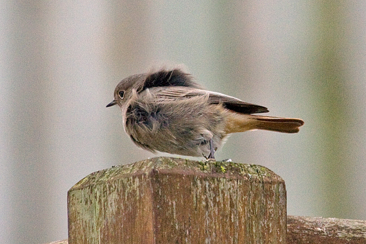 Codirosso spazzacamino [photo credit: www.flickr.com/photos/7322586@N06/12823177545142193-IMG_0757 Black Redstart (Phoenicurus ochruros) via photopincreativecommons.org/licenses/by-nc/2.0/]