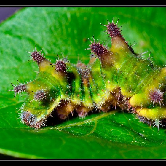 Limenitis reducta, bruco [photo credit: cquintin www.flickr.com/photos/34878947@N04/13957148387Chenille du Sylvain azuré (Limenitis reducta)via photopincreativecommons.org/licenses/by-nc/2.0/]