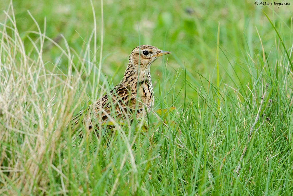 Allodola [photo credit: www.flickr.com/photos/44096805@N07/14131451214Eurasian Skylark (Alauda arvensis)via photopincreativecommons.org/licenses/by-nc-nd/2.0/]