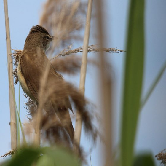 Cannareccione [photo credit: www.flickr.com/photos/60740813@N04/14263598249Acrocephalus arundinaceus Great reed warbler via photopin di Fausto Desericreativecommons.org/licenses/by/2.0/]