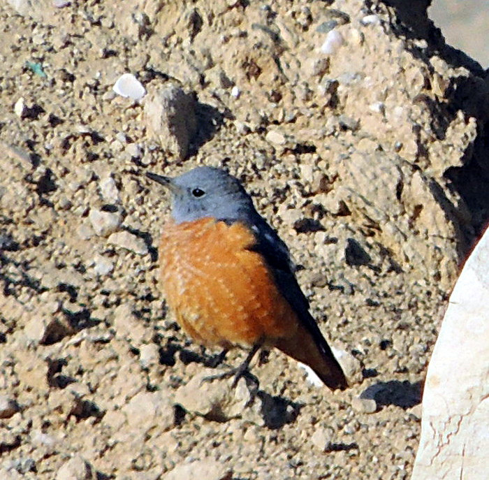 Codirossone (Monticola saxatilis)[photo credit: www.flickr.com/photos/131087549@N04/16871730721Rufous-tailed Rock Thrush - malevia photopincreativecommons.org/licenses/by-nc-sa/2.0/]
