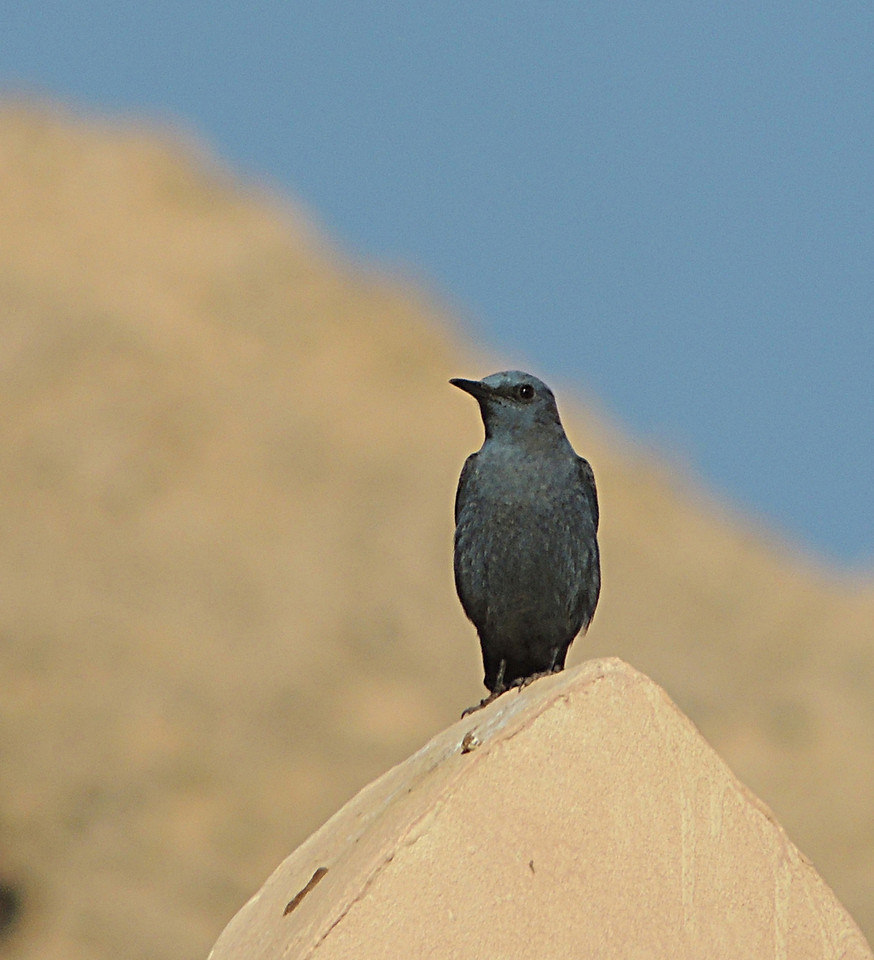 Passero solitario (Monticola solitarius)[photo credit: www.flickr.com/photos/131087549@N04/16872730475Blue Rock Thrush - malevia photopincreativecommons.org/licenses/by-nc-sa/2.0/]