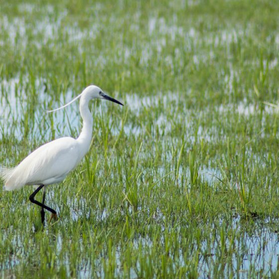 Egretta garzetta, garzetta [photo credit: www.flickr.com/photos/114870626@N07/17111093898 Garceta común (Egretta garzetta) via photopin.com creativecommons.org/licenses/by-nc-sa/2.0]