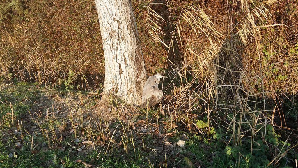 Airone cinerino [Foto di Domiziano Rubeca, fiume Clitunno, 1 gennaio 2016, con smartphone Samsung A5: piccoli naturalisti crescono!]