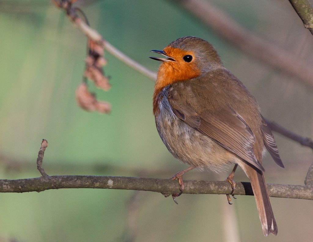 Pettirosso (Erithacus rubecula)[photo credit:www.flickr.com/photos/106519113@N07/24006617471Singing in the new yearvia photopincreativecommons.org/licenses/by-nc/2.0/]