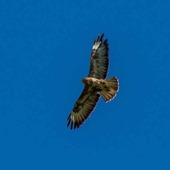 Buteo buteo, poiana [photo credit: www.flickr.com/photos/30026676@N05/28702848582 Buzzard (Buteo buteo) via photopin.com - photopin creativecommons.org/licenses/by-nc-nd/2.0 (license)]