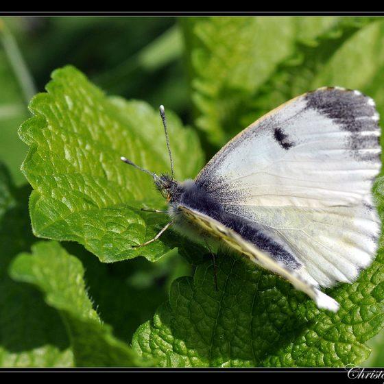 Pieris rapae [photo credit: cquintin www.flickr.com/photos/34878947@N04/3458643560Pieris rapae Piéride de la rave (mâle) via photopincreativecommons.org/licenses/by-nc/2.0/]