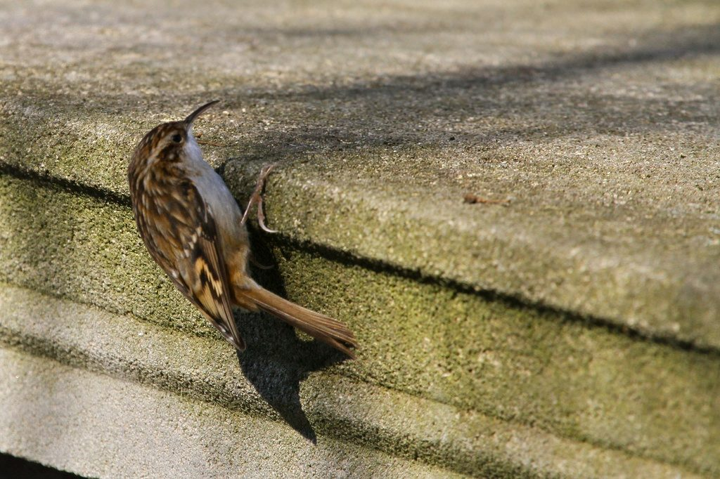 Rampichino [photo credit: www.flickr.com/photos/20973851@N03/5380140189Grimpereau des jardins (Certhia brachydactyla) Short-toed Treecreeper via photopincreativecommons.org/licenses/by-nc-nd/2.0/]