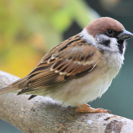 Passero mattugio [photo credit: www.flickr.com/photos/53256145@N07/6091325726Eurasian Tree Sparrow (Passer montanus)via photopincreativecommons.org/licenses/by-nc/2.0/]
