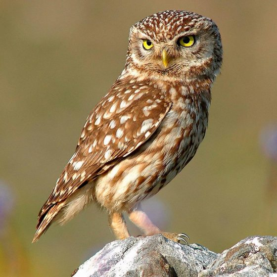 Athene noctua, civetta [photo credit: www.flickr.com/photos/14829735@N00/7092835215Κουκουβάγια: Athene noctua (Little Owl) by Trebol-a, modified by Stemonitis via photopincreativecommons.org/licenses/by/2.0]
