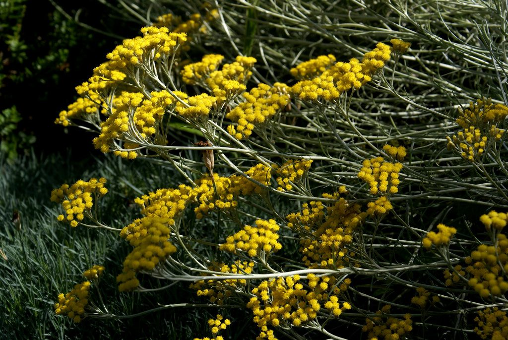 Helichrysum italicum, elicriso italiano photo credit: www.flickr.com/photos/96456350@N00/7591869428Renovating Curry Plant 1 of 3 via photopin.com creativecommons.org/licenses/by-nc-nd/2.0/
