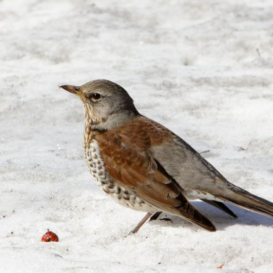Turdus pilaris, cesena [photo credit: www.flickr.com/photos/29225114@N08/8635874129Fieldfare in the snow: the spring is (almost) here via photopincreativecommons.org/licenses/by-nc-sa/2.0/]