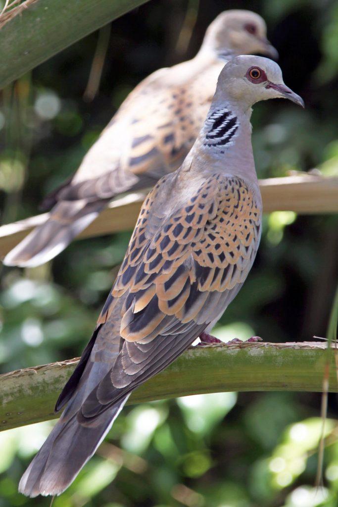 Streptopelia turtur, Tortora comune [Di Yuvalr - Opera propria, CC BY-SA 3.0 https://commons.wikimedia.org/w/index.php?curid=16798749]