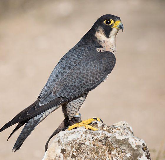 Falco pellegrino [Di Carlos Delgado - Opera propria, CC BY-SA 4.0, https://commons.wikimedia.org/w/index.php?curid=38755194]