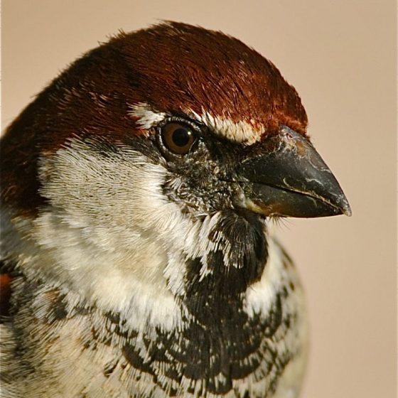 Passero italiano [foto di Claudio Gennari from Roma, Italia - Birds vain ... CC BY 2.0,commons.wikimedia.org/w/index.php?curid=10747400]