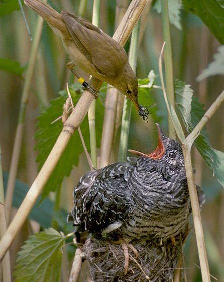 Nidiaceo di cuculo imbeccato da una cannaiola, sua madre adottiva [Di Per Harald Olsen - Opera propria, CC BY-SA 3.0, https://commons.wikimedia.org/w/index.php?curid=1887345]