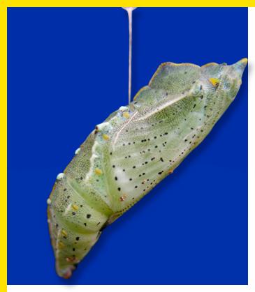 Crisalide di pieride, composizione grafica dal progetto TreviAmbiente - Foto di Giampaolo Filippucci, Tiziana Ravagli