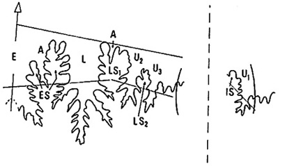 Rarenodia, linea di sutura - Disegno a cura del prof. Federico Venturi