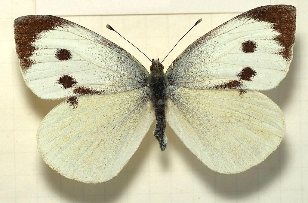 Pieris brassicae, Cavolaia maggiore, femmina [da wikimedia, foto di Sarefo Opera propria, CC BY-SA 3.0, commons.wikimedia.org/w/ index.php?curid=2905361]
