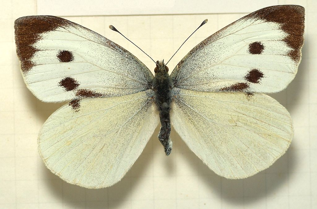 Pieris brassicae – cavolaia maggiore