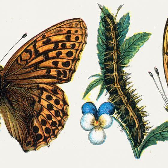 Tabacco di Spagna [immagine da wikimedia di Dr. F. Nemos Questo file è stato ricavato da un'altra immagine: European-butterfly 052-IV.jpg, Pubblico dominio, commons.wikimedia.org/w/index.php?curid=4043502]