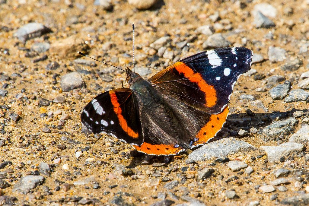 Vanessa atalanta [photo credit: BiteYourBum.Com Photography www.flickr.com/photos/30026676@N05/28320182425Red Admiral Butterfly (Vanessa atalanta) via photopin creativecommons.org/licenses/by-nc-nd/2.0/]