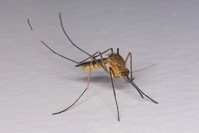Culex pipiens - zanzara comune