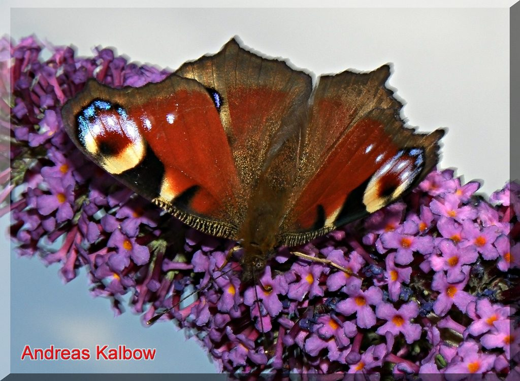 Aglais io - vanessa io [by Andreas Kalbow photo credit: Vogelfoto69 www.flickr.com/photos/56685705@N06/5619771516Tagpfauenauge Inachis io (10)via photopincreativecommons.org/licenses/by-nc-nd/2.0/]