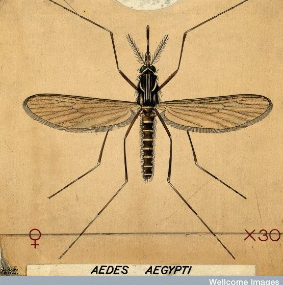 Zanzata della febbre gialla - Aedes aegypti[photo credit: wellcome images www.flickr.com/photos/26127598@N04/7822307470V0022549 A mosquito (Aedes aegypti). Coloured drawing by Avia photopin creativecommons.org/licenses/by-nc-nd/2.0/]
