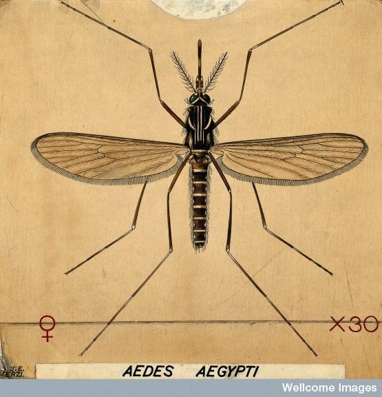 Aedes (Ochlerotatus) caspius – zanzara di risaia