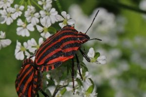 Graphosoma lineatum ssp. Italicum [photo by Charlesjsharp - Own work, from Sharp Photography, sharpphotography, CC BY-SA 4.0, commons.wikimedia.org/w/index.php?curid=49736567 da wikimedia]