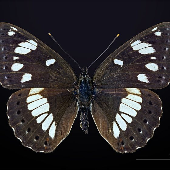 Limenitis reducta, piccolo silvano [da wikimedia, photo by Didier Descouens Own work, CC BY-SA 4.0, commons.wikimedia.org/w/index.php?curid=40955266]