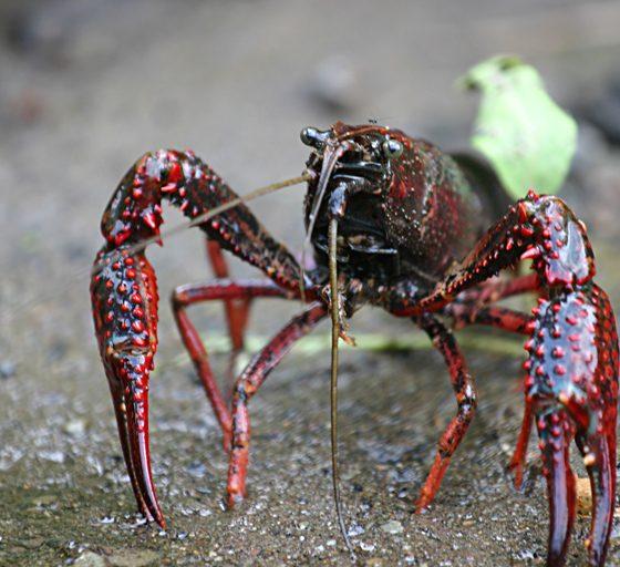 Procambarus clarkii, gambero rosso della Louisiana [photo credit: Jesuskyman via photopin cc]