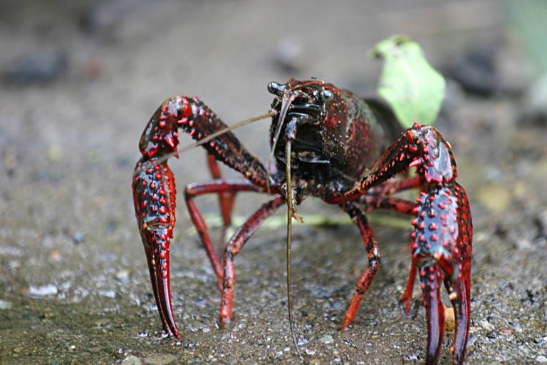 Procambarus clarkii – gambero rosso della Louisiana