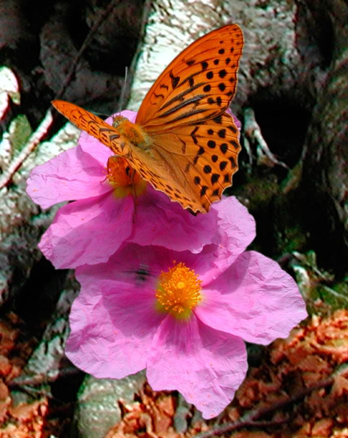 Argynnis paphia - tabacco di Spagna, pafia