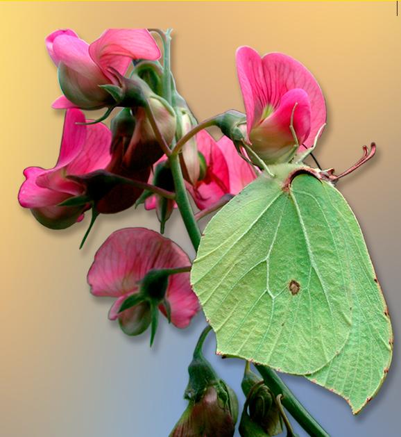 Gonepteryx rhamni - cedronella