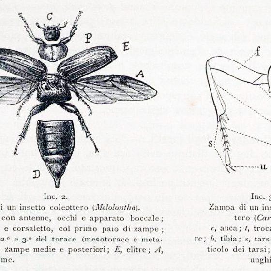 Struttura dei coleotteri tavola tratta da 'IL LIBRO DEI COLEOTTERI' Griffini Achille - 1896
