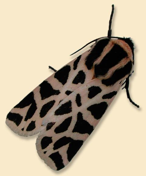 Cymbalophora pudica - falena tigre