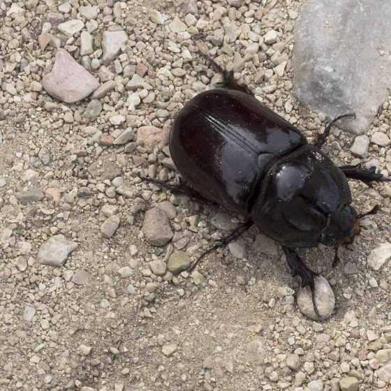 Oryctes nasicornis, scarabeo rinoceronte