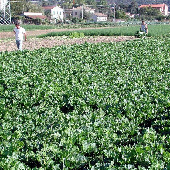 Il sedano nero di Trevi, coltivato nelgli Orti delle Canapine di Trevi