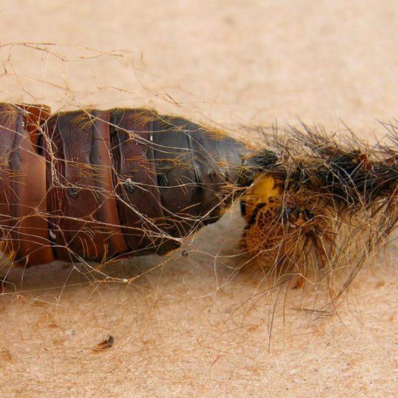 Lymantria dispar, resti della crisalide e dell'ultima muta del bruco - Foto di Giampaolo Filippucci, Tiziana Ravagli (Trevi)