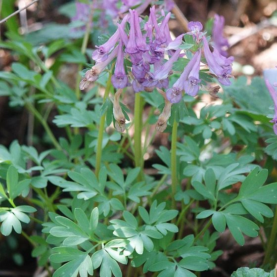 Corydalis solida, colombina solida [da wikimedia, foto di Bernd Haynold Own work, CC BY 2.5, commons.wikimedia.org/w/index.php?curid=730235]