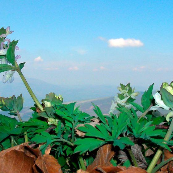 Corydalis cava, colombina cava - Foto di Giampaolo Filippucci, Tiziana Ravagli