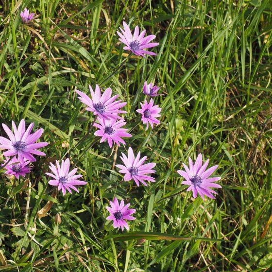 Anemone stella, fior di stella, anemone dei campi