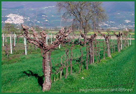 Filari di piantate dopo la potatura - Foto di Giampaolo Filippucci, Tiziana Ravagli