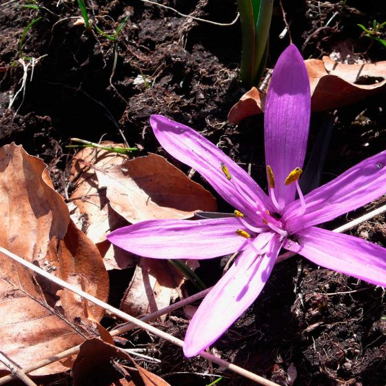 Colchico di primavera, colchico multicolore, : Colchicum bulbocodium subsp. versicolor - Foto di Giampaolo Filippucci, Tiziana Ravagli